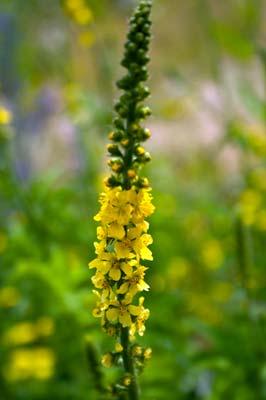 Εικόνες Φυτών... Agrimony